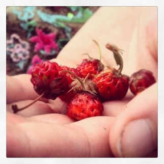 Wild strawberries we found while hiking